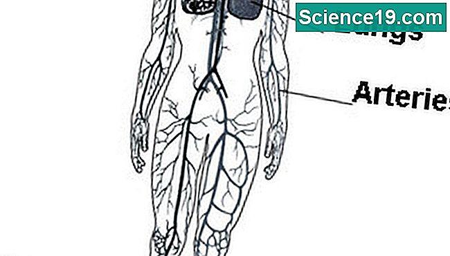 Struktur des kardiovaskulären Systems 💫 Wissenschaftliches Und ...