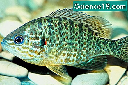 La differenza tra Bluegill e Sunfish