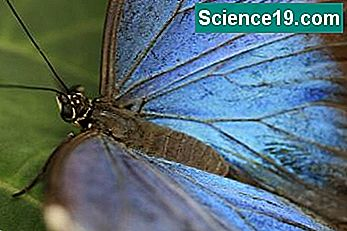 Fakta for Kids on the Blue Morpho Butterfly