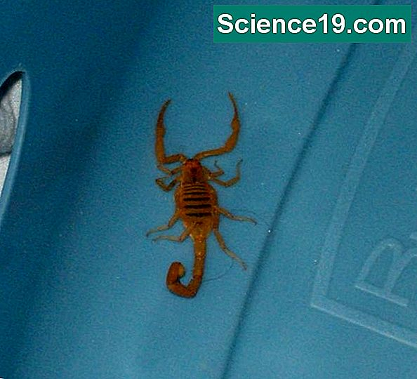 Wie man den Arizona Bark Scorpion identifiziert
