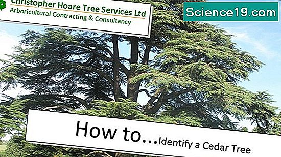 Cedar Tree Identifikation